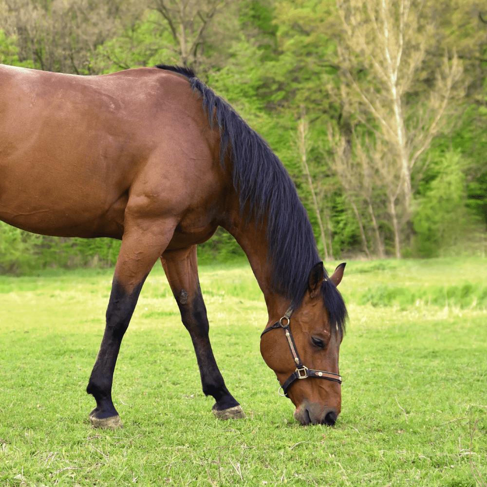 13 porque debo mantener la suplementacion de mi caballo