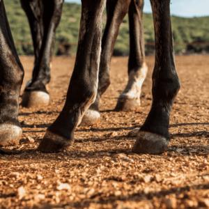 08 como evito la cojera de mi caballo
